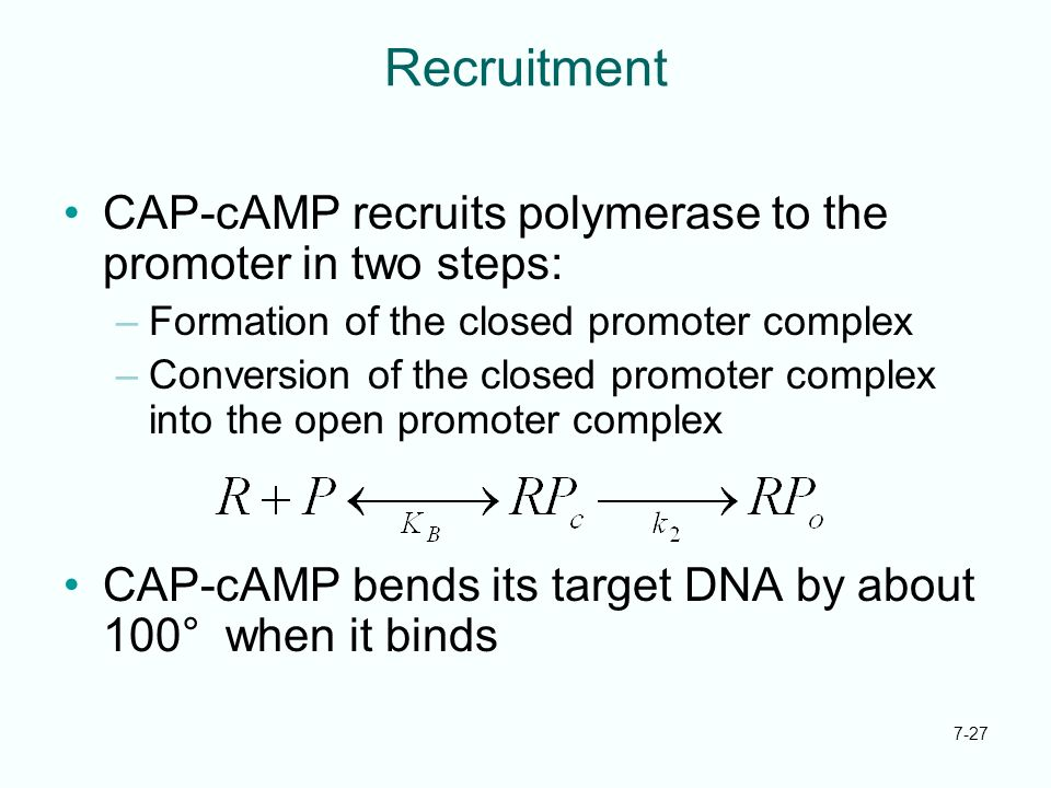 7-27 Recruitment CAP-cAMP recruits polymerase to the promoter in two steps: –Formation of the closed promoter complex –Conversion of the closed promot