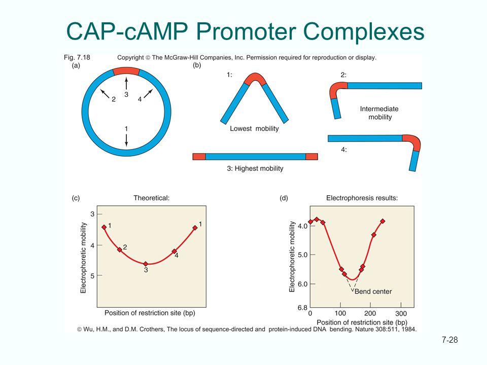 7-28 CAP-cAMP Promoter Complexes