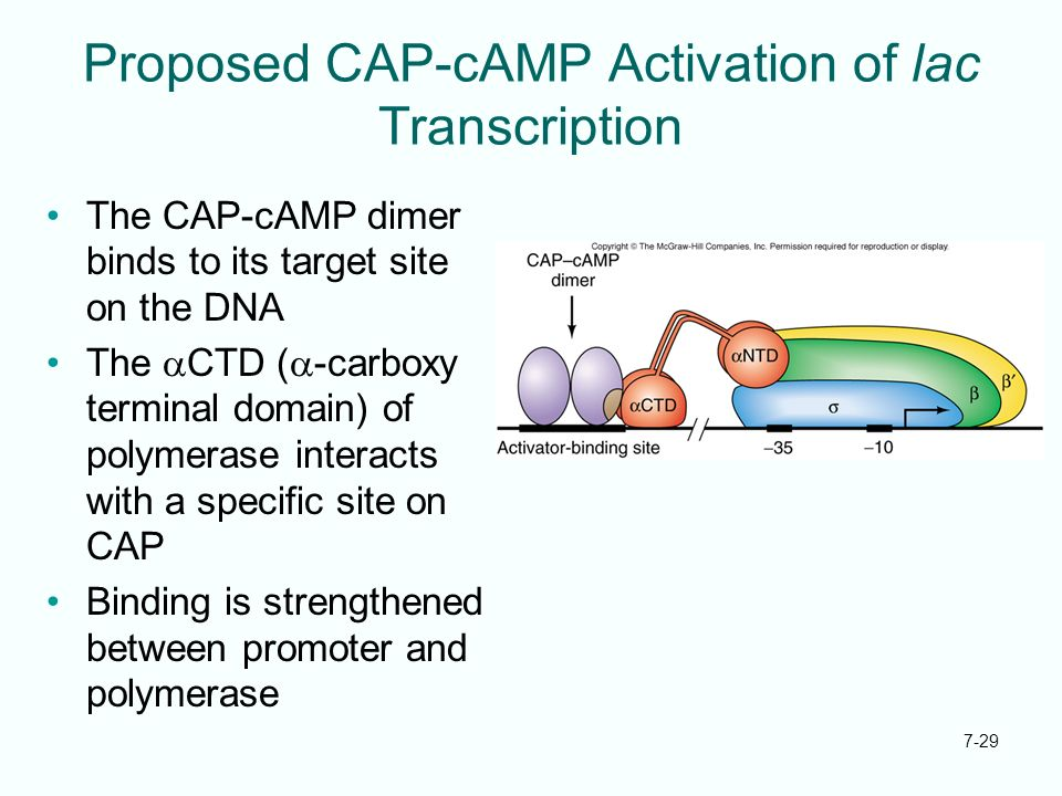 7-29 Proposed CAP-cAMP Activation of lac Transcription The CAP-cAMP dimer binds to its target site on the DNA The CTD ( -carboxy terminal domain) of p