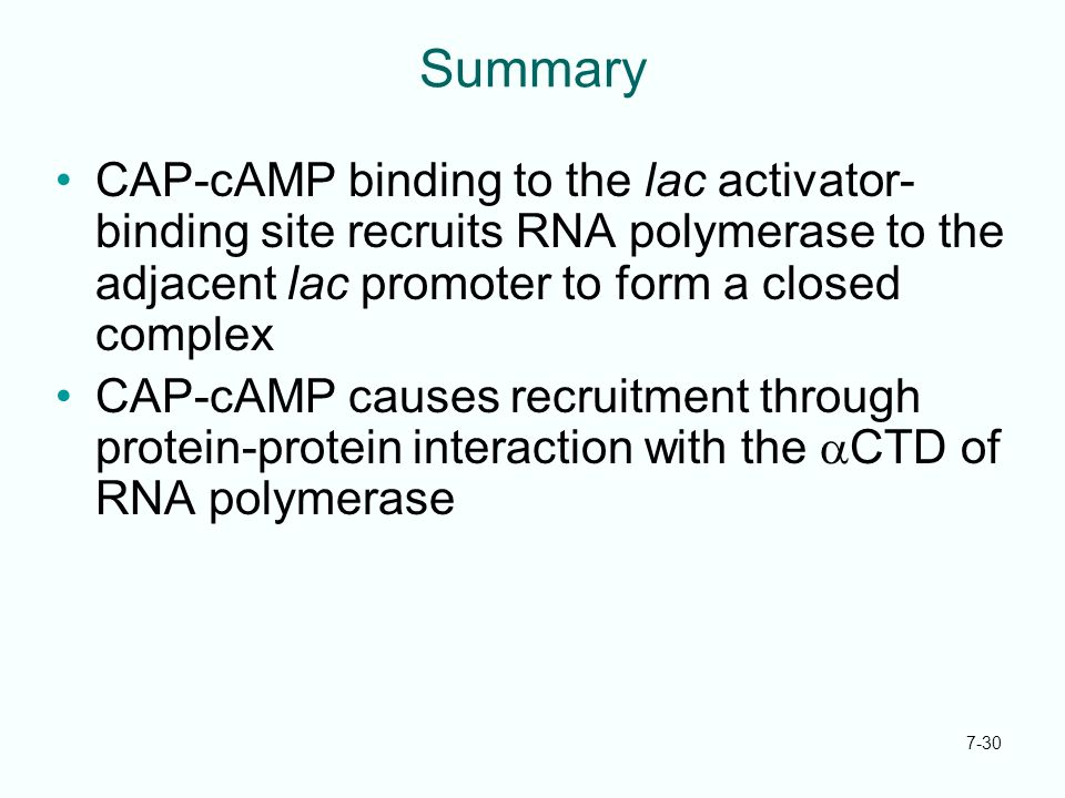 7-30 Summary CAP-cAMP binding to the lac activator- binding site recruits RNA polymerase to the adjacent lac promoter to form a closed complex CAP-cAM