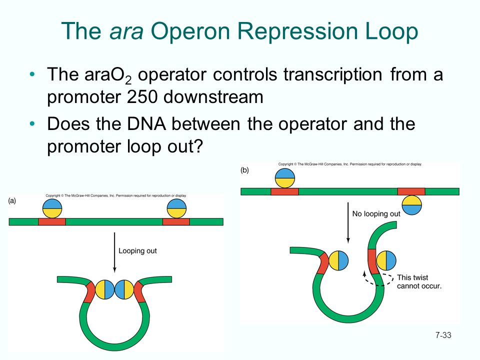 7-33 The ara Operon Repression Loop The araO 2 operator controls transcription from a promoter 250 downstream Does the DNA between the operator and th