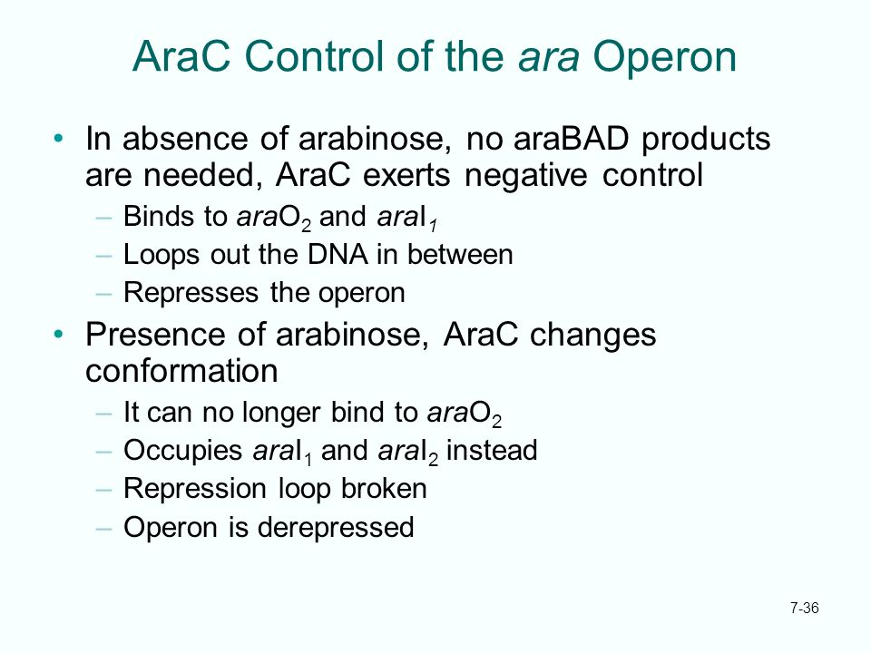 7-36 AraC Control of the ara Operon In absence of arabinose, no araBAD products are needed, AraC exerts negative control –Binds to araO 2 and araI 1 –