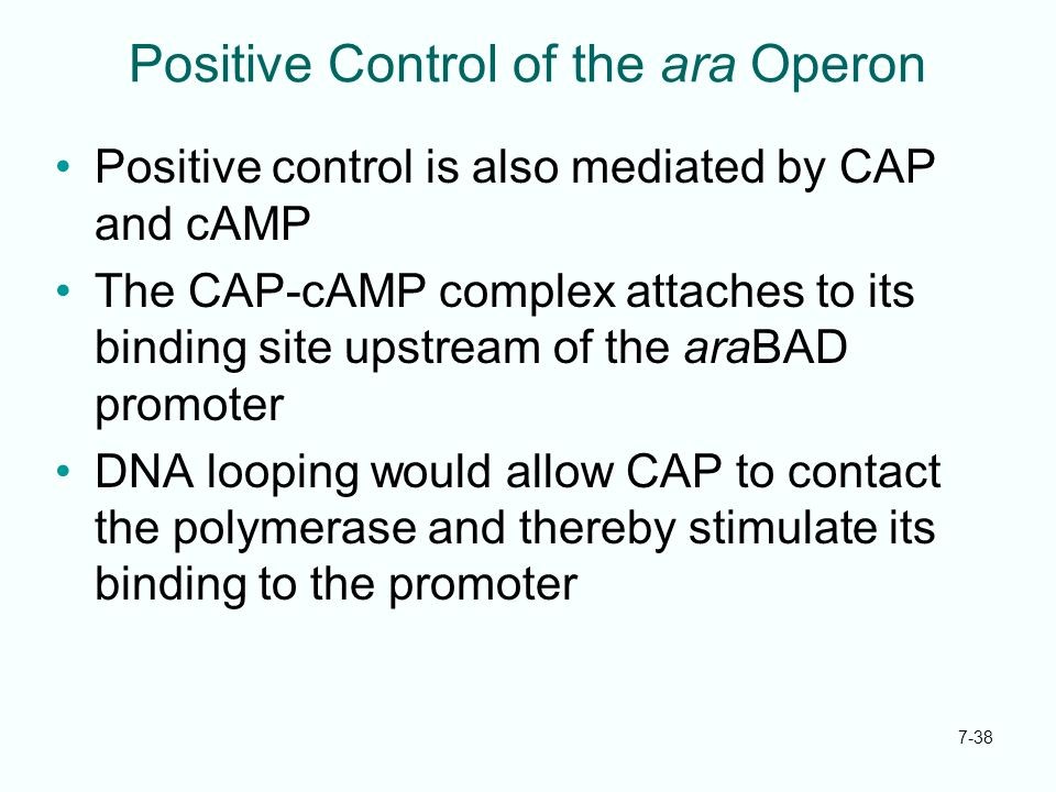 7-38 Positive Control of the ara Operon Positive control is also mediated by CAP and cAMP The CAP-cAMP complex attaches to its binding site upstream o