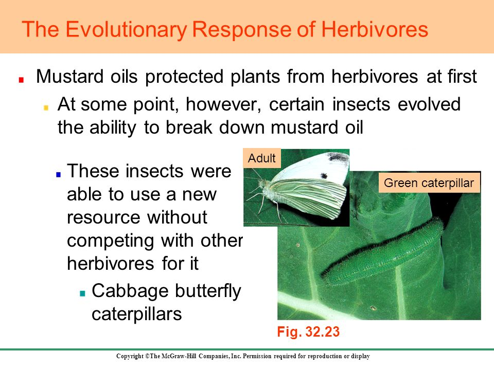 Copyright ©The McGraw-Hill Companies, Inc. Permission required for reproduction or display Mustard oils protected plants from herbivores at first At s