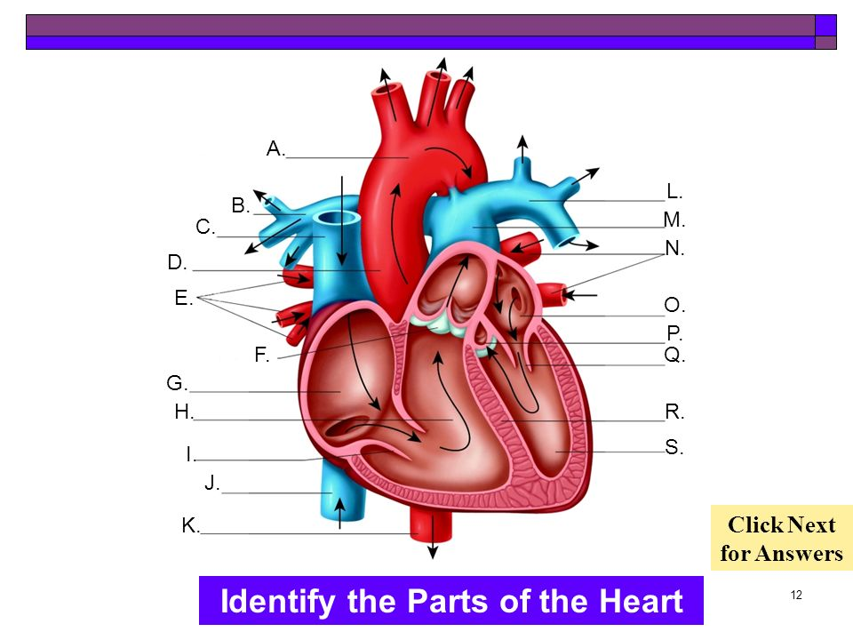 11 The Heart Labeled