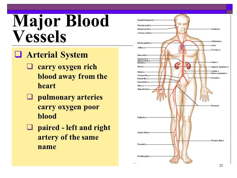 24 Paths of Circulation Pulmonary Circuit Pulmonary Circuit right atrium --> right ventricle --> pulmonary trunk --> pulmonary arteries --> lungs -->
