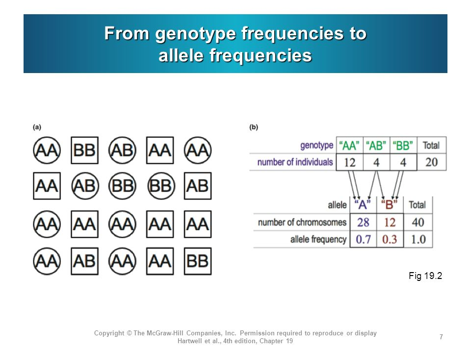 The Hardy-Weinberg law correlates allele and genotype frequencies Developed independently in 1908 by G.H.