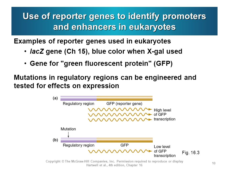 Use of reporter genes to identify promoters and enhancers in eukaryotes Examples of reporter genes used in eukaryotes lacZ gene (Ch 15), blue color wh