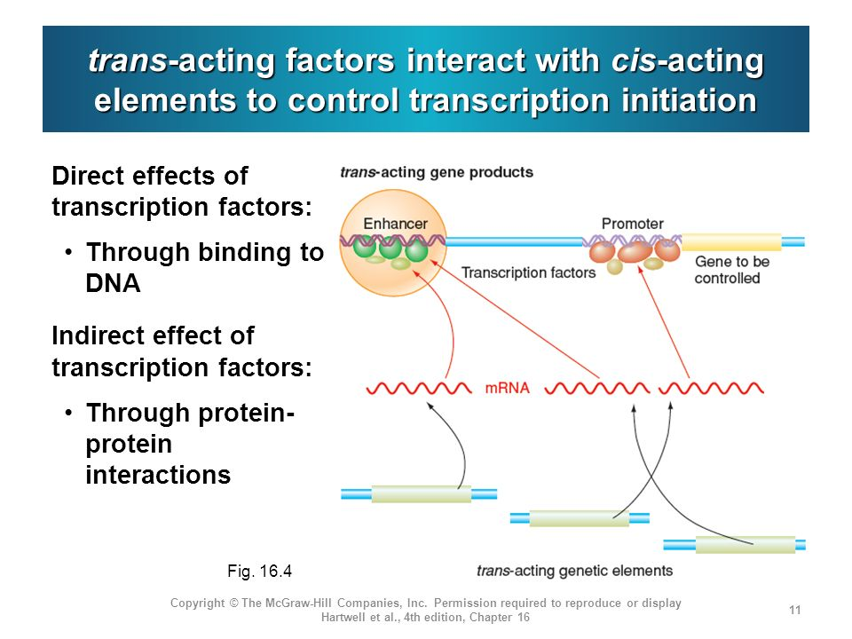 trans-acting factors interact with cis-acting elements to control transcription initiation Copyright © The McGraw-Hill Companies, Inc. Permission requ