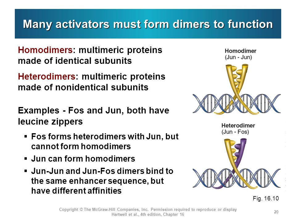 Many activators must form dimers to function Homodimers: multimeric proteins made of identical subunits Heterodimers: multimeric proteins made of noni