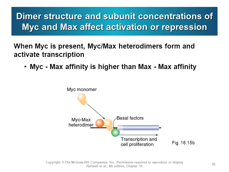 Dimer structure and subunit concentrations of Myc and Max affect activation or repression When Myc is present, Myc/Max heterodimers form and activate