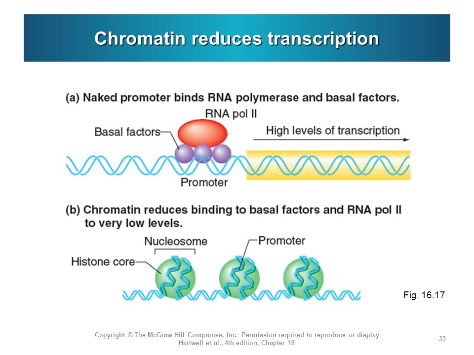 Chromatin reduces transcription Copyright © The McGraw-Hill Companies, Inc. Permission required to reproduce or display Hartwell et al., 4th edition,