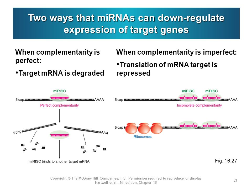 Two ways that miRNAs can down-regulate expression of target genes When complementarity is perfect: Target mRNA is degraded Copyright © The McGraw-Hill