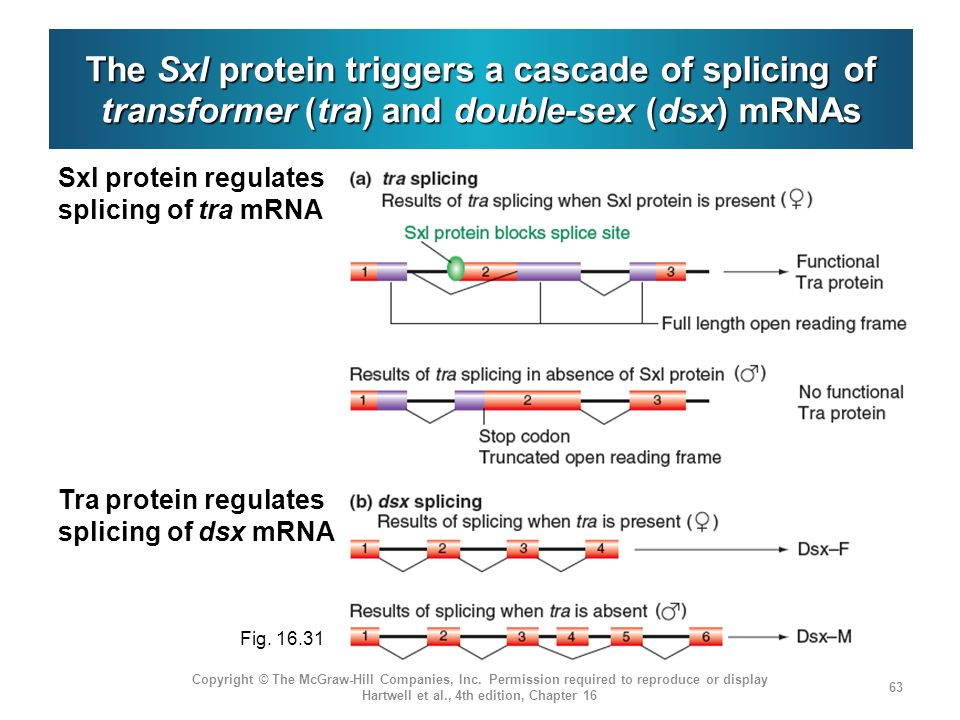 The Sxl protein triggers a cascade of splicing of transformer (tra) and double-sex (dsx) mRNAs Copyright © The McGraw-Hill Companies, Inc. Permission