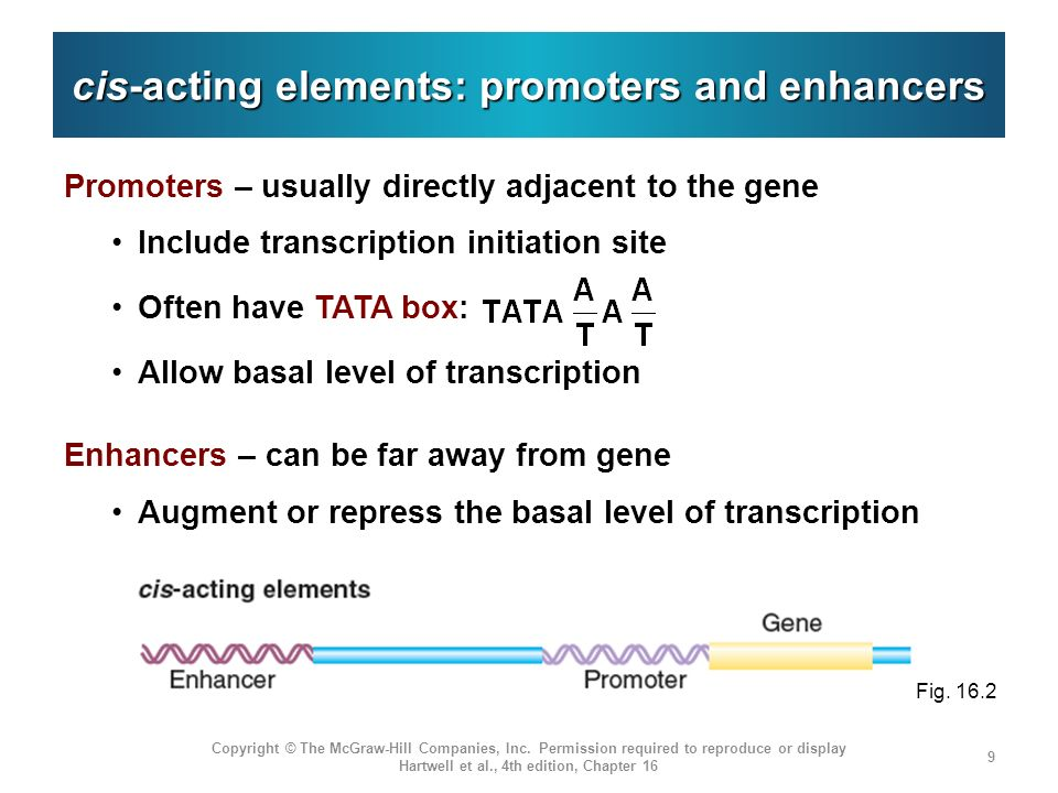 cis-acting elements: promoters and enhancers Promoters – usually directly adjacent to the gene Include transcription initiation site Often have TATA b