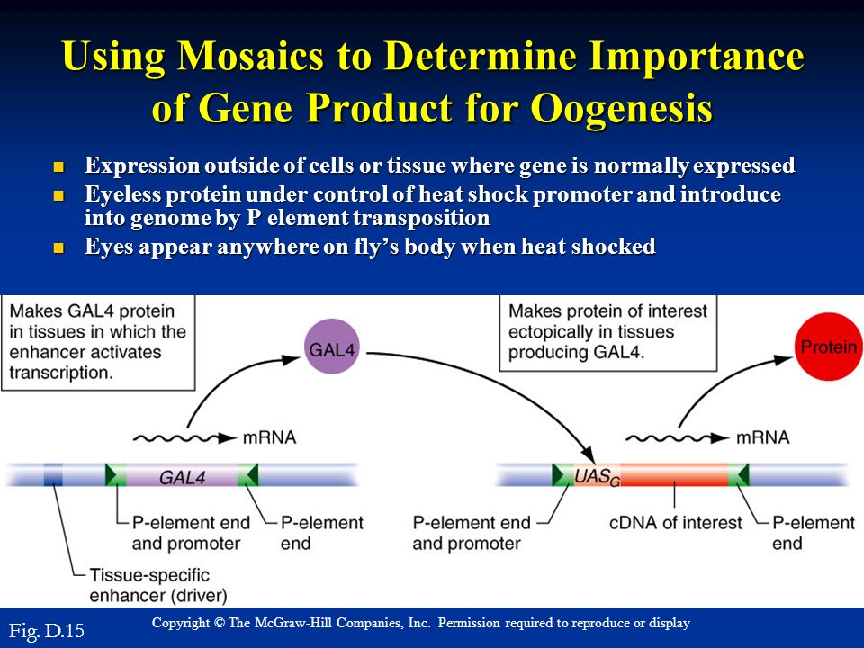 Copyright © The McGraw-Hill Companies, Inc. Permission required to reproduce or display Using Mosaics to Determine Importance of Gene Product for Ooge