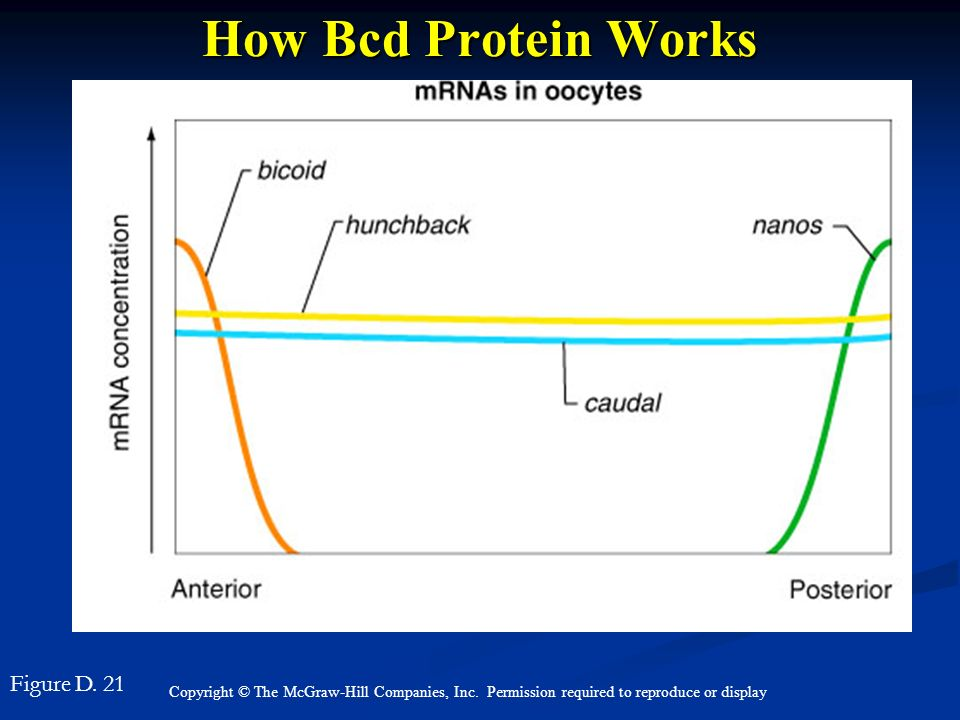 Copyright © The McGraw-Hill Companies, Inc. Permission required to reproduce or display How Bcd Protein Works Figure D. 21