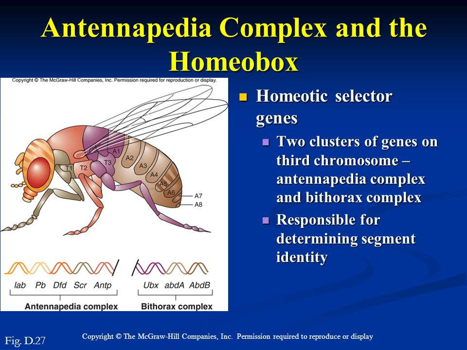 Copyright © The McGraw-Hill Companies, Inc. Permission required to reproduce or display Antennapedia Complex and the Homeobox Homeotic selector genes