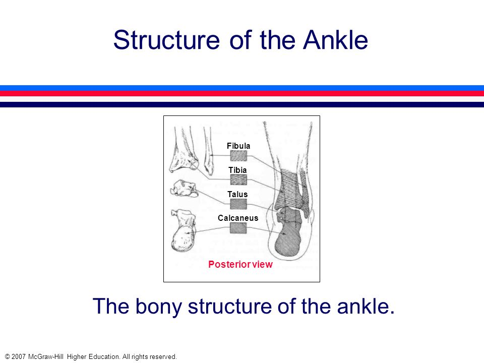© 2007 McGraw-Hill Higher Education. All rights reserved. Structure of the Ankle The bony structure of the ankle. Fibula Tibia Talus Calcaneus Posteri