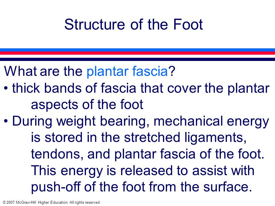 © 2007 McGraw-Hill Higher Education. All rights reserved. Structure of the Foot What are the plantar fascia? thick bands of fascia that cover the plan