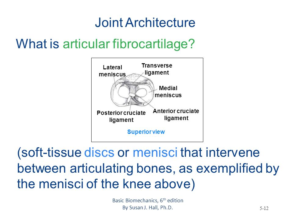 5-12 Joint Architecture What is articular fibrocartilage? (soft-tissue discs or menisci that intervene between articulating bones, as exemplified by t