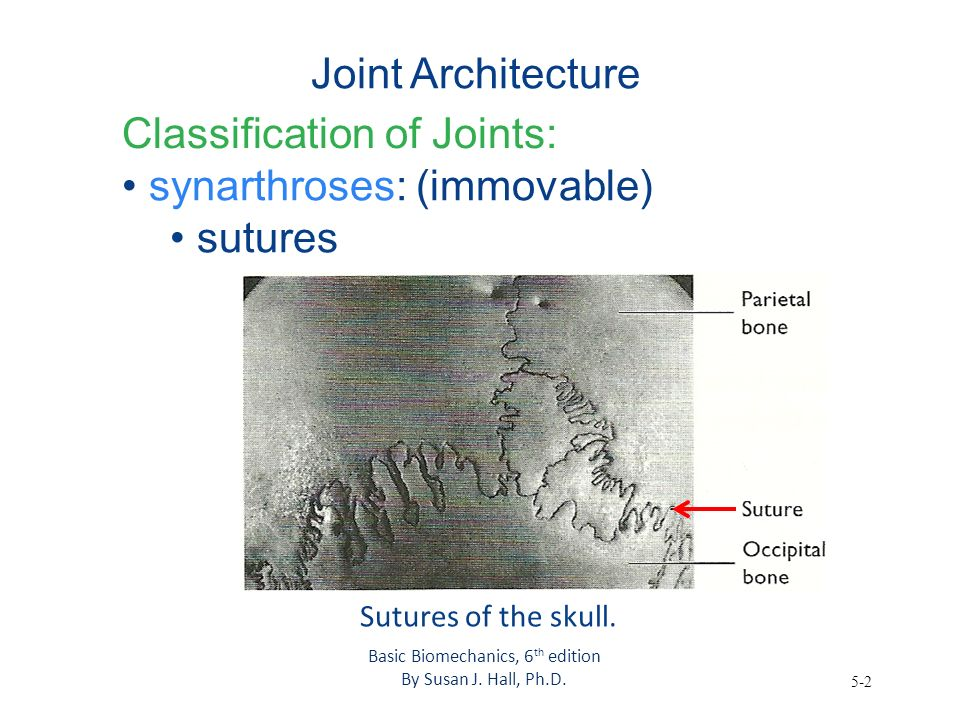 5-2 Joint Architecture Classification of Joints: synarthroses: (immovable) sutures Basic Biomechanics, 6 th edition By Susan J. Hall, Ph.D. Sutures of