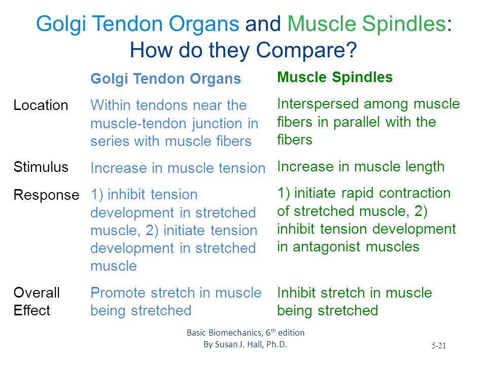 5-21 Golgi Tendon Organs and Muscle Spindles: How do they Compare? Overall Effect Golgi Tendon Organs Within tendons near the muscle-tendon junction i