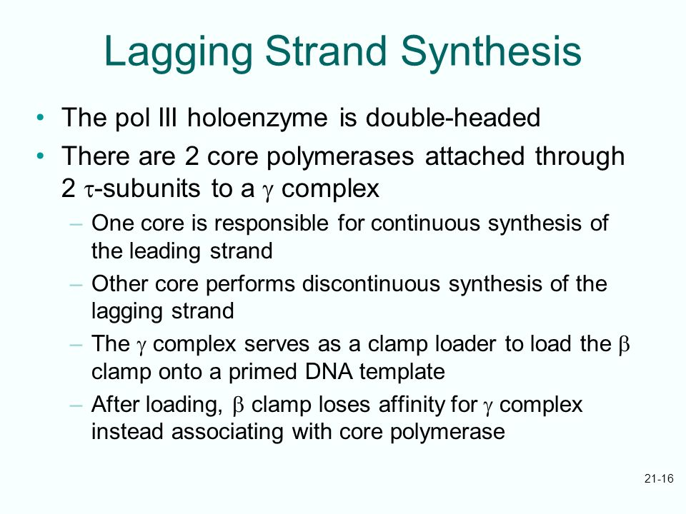 21-16 Lagging Strand Synthesis The pol III holoenzyme is double-headed There are 2 core polymerases attached through 2 -subunits to a complex –One cor