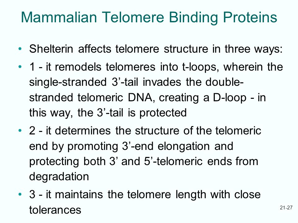 21-27 Mammalian Telomere Binding Proteins Shelterin affects telomere structure in three ways: 1 - it remodels telomeres into t-loops, wherein the sing