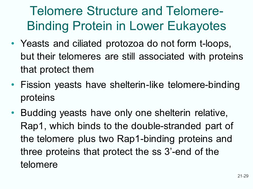 21-29 Telomere Structure and Telomere- Binding Protein in Lower Eukayotes Yeasts and ciliated protozoa do not form t-loops, but their telomeres are st