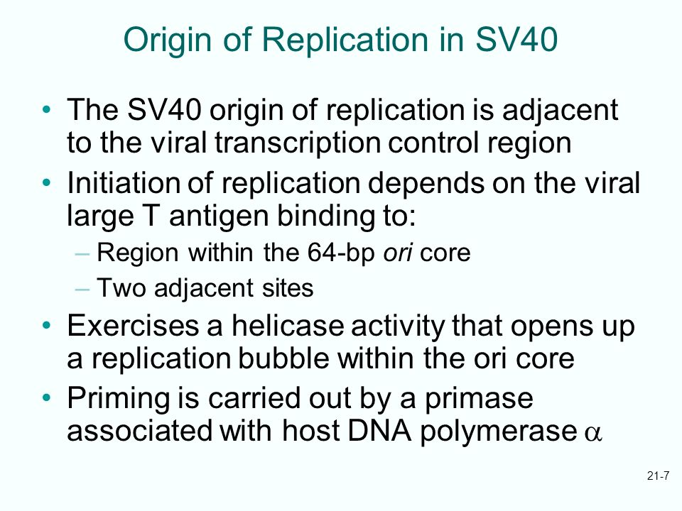 21-7 Origin of Replication in SV40 The SV40 origin of replication is adjacent to the viral transcription control region Initiation of replication depe