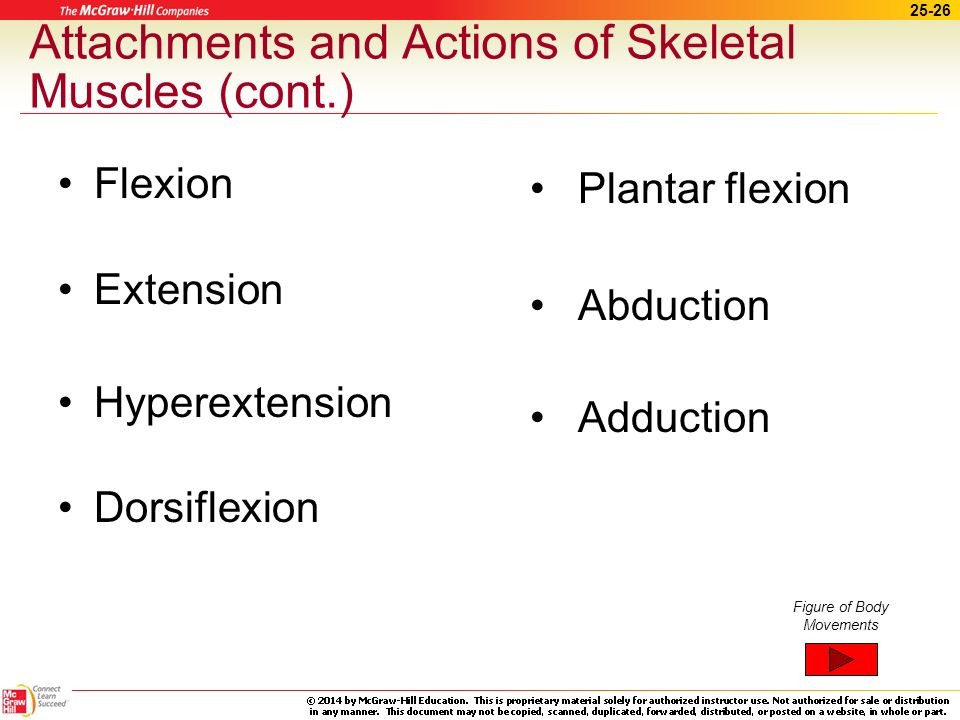25-25 Attachments and Actions of Skeletal Muscles (cont.) Movement –Prime mover (agonist) ~ responsible for most of the movement –Synergists ~ help the prime mover by stabilizing joints –Antagonist ~ produces movement opposite to prime mover