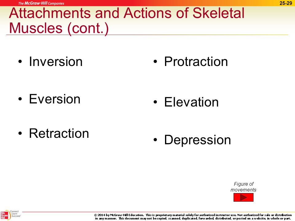 25-28 Attachments and Actions of Skeletal Muscles (cont.) Rotation Circumduction Pronation Supination Rotation Circumduction Supination Pronation