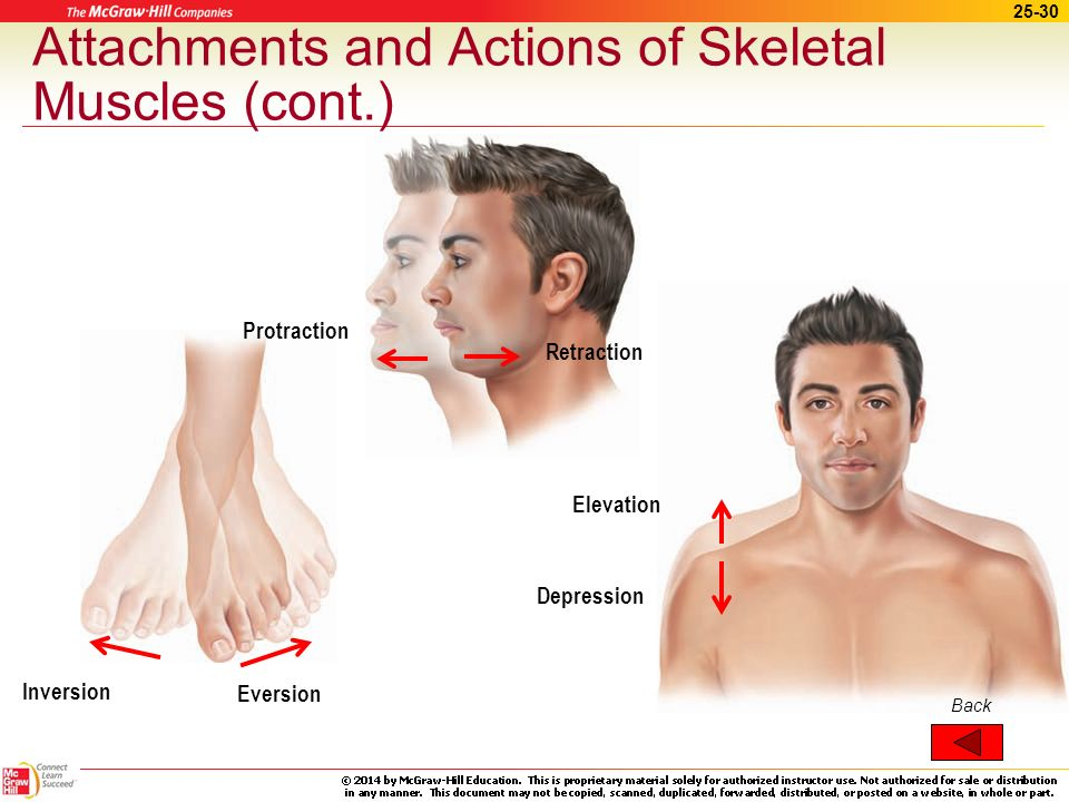 25-29 Attachments and Actions of Skeletal Muscles (cont.) Inversion Eversion Retraction Protraction Elevation Depression Figure of movements