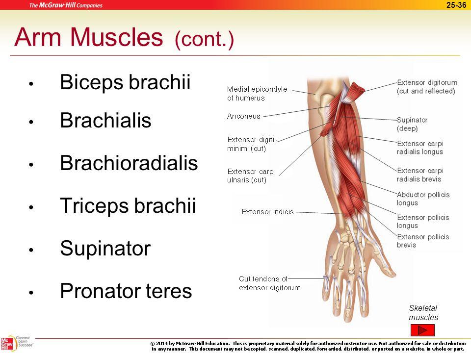 25-35 Arm Muscles Pectoralis major Latissimus dorsi Deltoid Subscapularis Infraspinatus Skeletal muscles