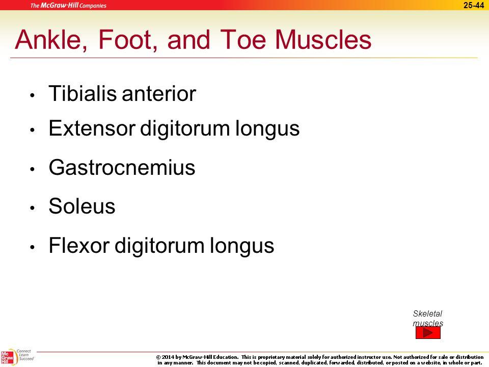 25-43 Leg Muscles (cont.) Biceps femoris, semitendinosus, and semimembranosus Rectus femoris, vastus lateralis, vastus medialis, and vastus intermediu