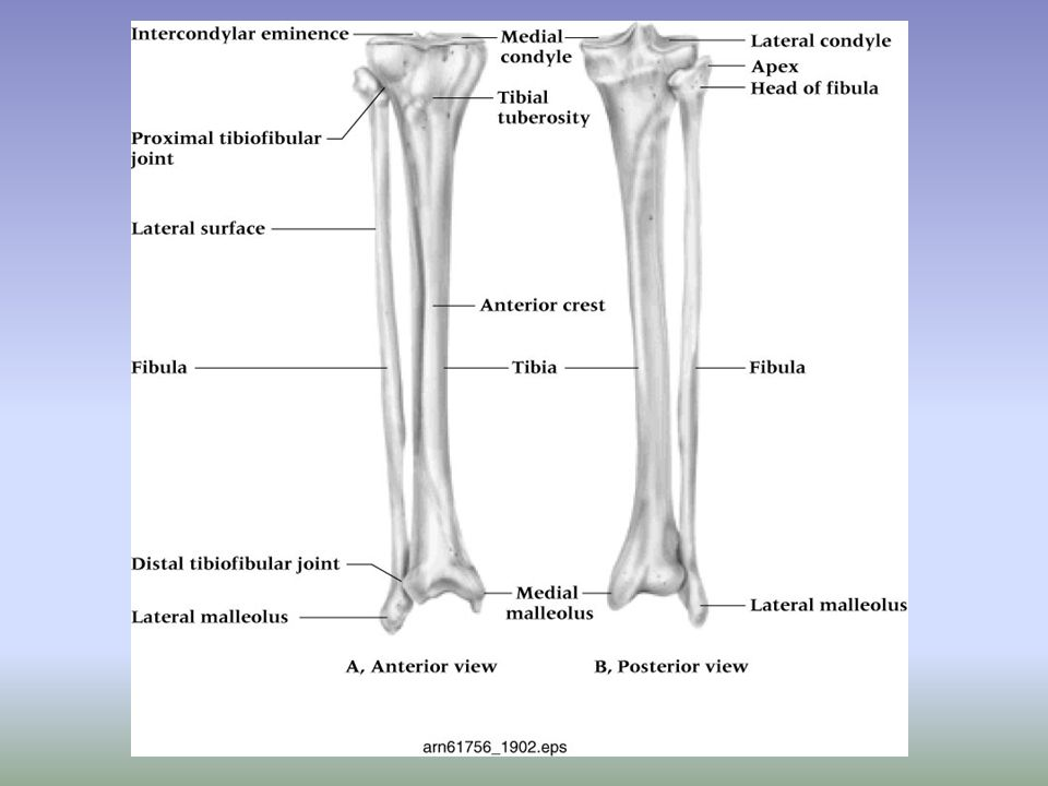Assessing the Lower Leg and Ankle History –Past history –Mechanism of injury –When does it hurt.