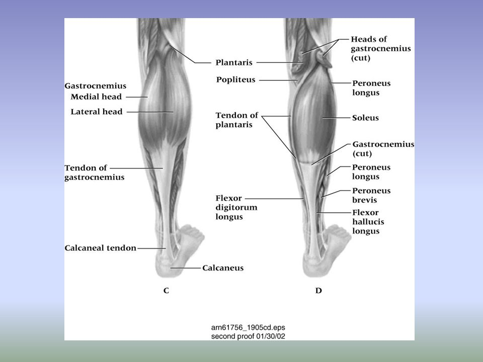 Gastrocnemius Strain –Etiology Susceptible to strain near musculotendinous attachment Caused by quick start or stop, jumping –Signs and Symptoms Depending on grade, variable amount of swelling, pain, muscle disability May feel like being hit in leg with a stick Edema, point tenderness and functional loss of strength –Management RICE, NSAIDs and analgesics as needed Grade 1 should apply gentle stretch after cooling Weight bearing as tolerated; heel wedge to reduce calf stretching while walking Gradual rehab program should be instituted
