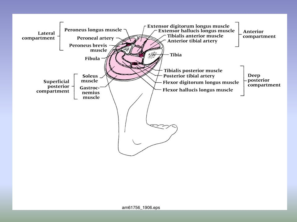 Grade 1 Inversion Ankle Sprain –Etiology Occurs with inversion plantar flexion and adduction with stretching of the anterior talofibular ligament –Signs and Symptoms Mild pain and disability; weight bearing is minimally impaired; point tenderness over ligaments and no laxity –Management RICE for 1-2 days; limited weight bearing initially and then aggressive rehab Tape may provide some additional support Return to activity in 7-10 days