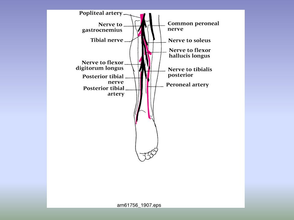 Peroneal Subluxation (continued) –Management Conservative approach should be used first, including compression with felt horseshoe Reinforce compression pad with rigid plastic or plaster until acute signs have subsided RICE, NSAIDs and analgesics Conservative treatment time 5-6 weeks followed by gradual rehab program Surgery if conservative plan fails