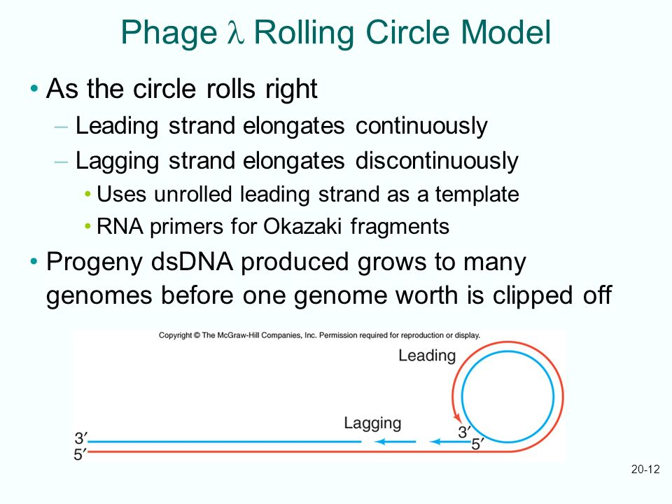 20-12 Phage Rolling Circle Model As the circle rolls right –Leading strand elongates continuously –Lagging strand elongates discontinuously Uses unrol