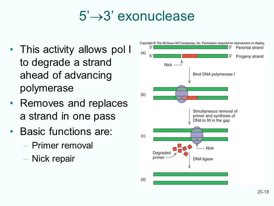 20-18 5 3 exonuclease This activity allows pol I to degrade a strand ahead of advancing polymerase Removes and replaces a strand in one pass Basic fun