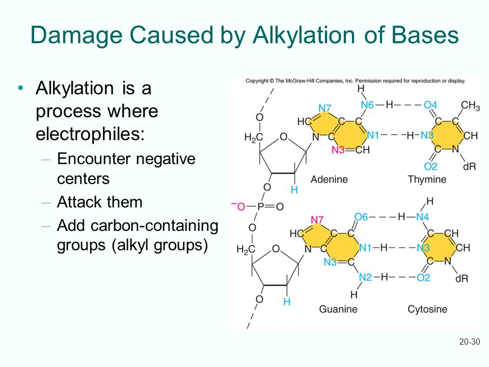 20-30 Damage Caused by Alkylation of Bases Alkylation is a process where electrophiles: –Encounter negative centers –Attack them –Add carbon-containin