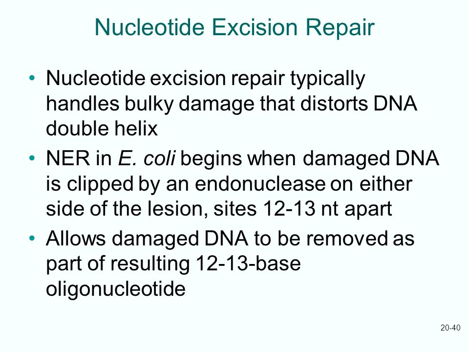 20-40 Nucleotide Excision Repair Nucleotide excision repair typically handles bulky damage that distorts DNA double helix NER in E. coli begins when d