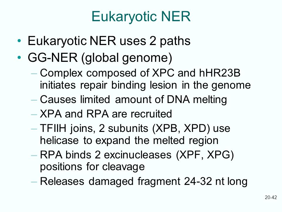 20-42 Eukaryotic NER Eukaryotic NER uses 2 paths GG-NER (global genome) –Complex composed of XPC and hHR23B initiates repair binding lesion in the gen