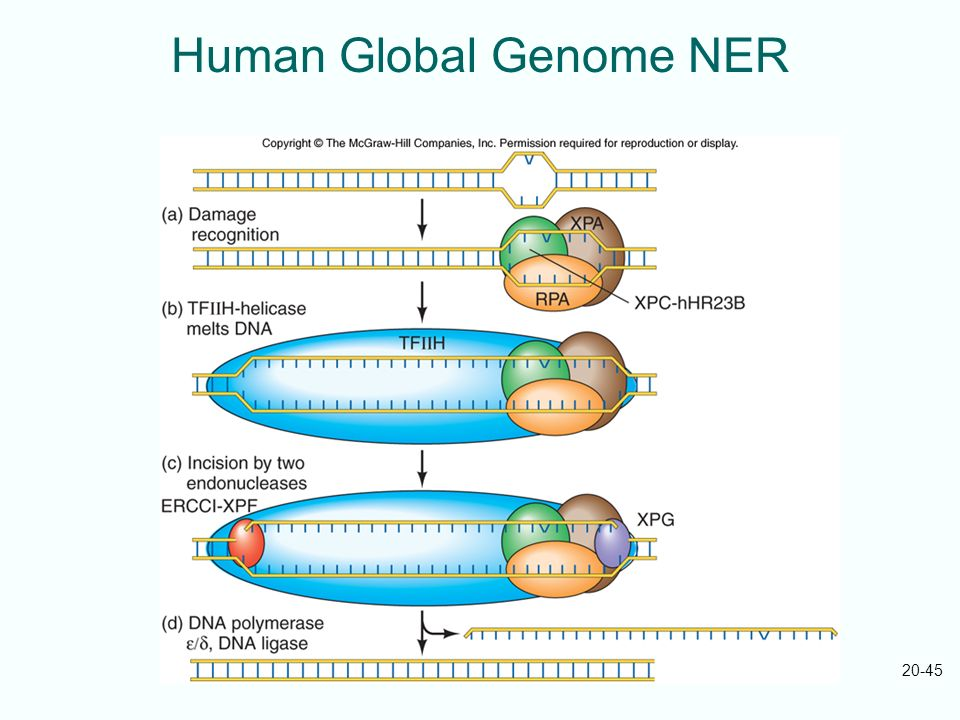 20-45 Human Global Genome NER