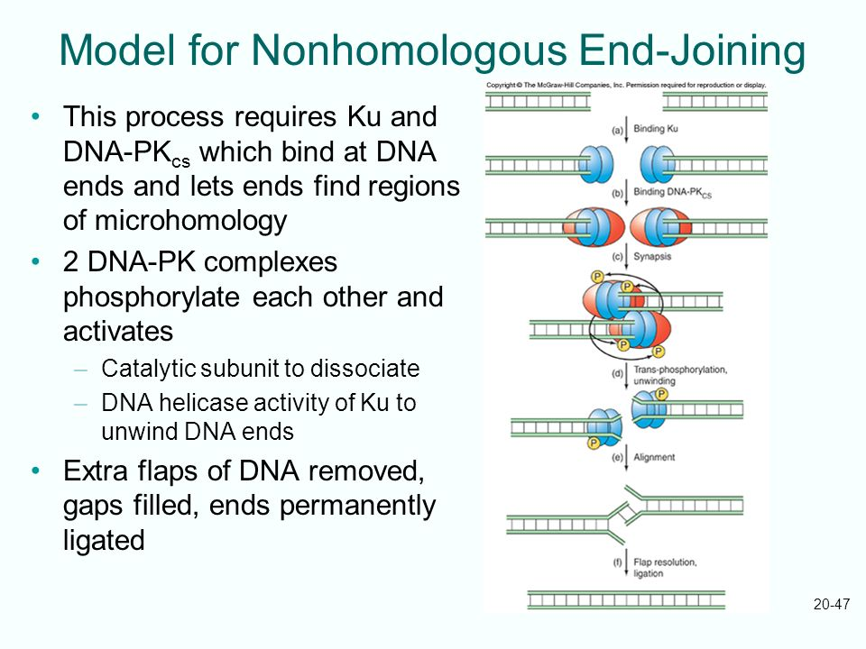 20-47 Model for Nonhomologous End-Joining This process requires Ku and DNA-PK cs which bind at DNA ends and lets ends find regions of microhomology 2