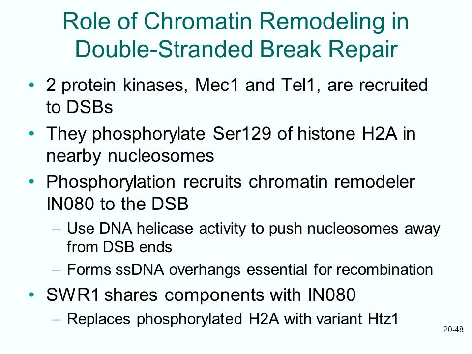 20-48 Role of Chromatin Remodeling in Double-Stranded Break Repair 2 protein kinases, Mec1 and Tel1, are recruited to DSBs They phosphorylate Ser129 o