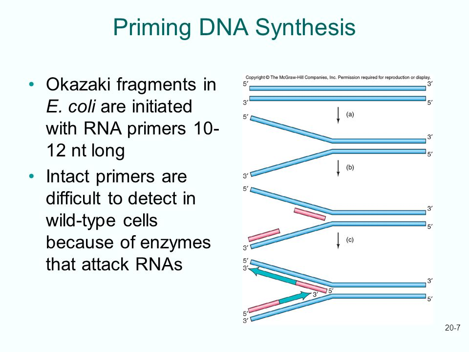 20-7 Priming DNA Synthesis Okazaki fragments in E. coli are initiated with RNA primers 10- 12 nt long Intact primers are difficult to detect in wild-t