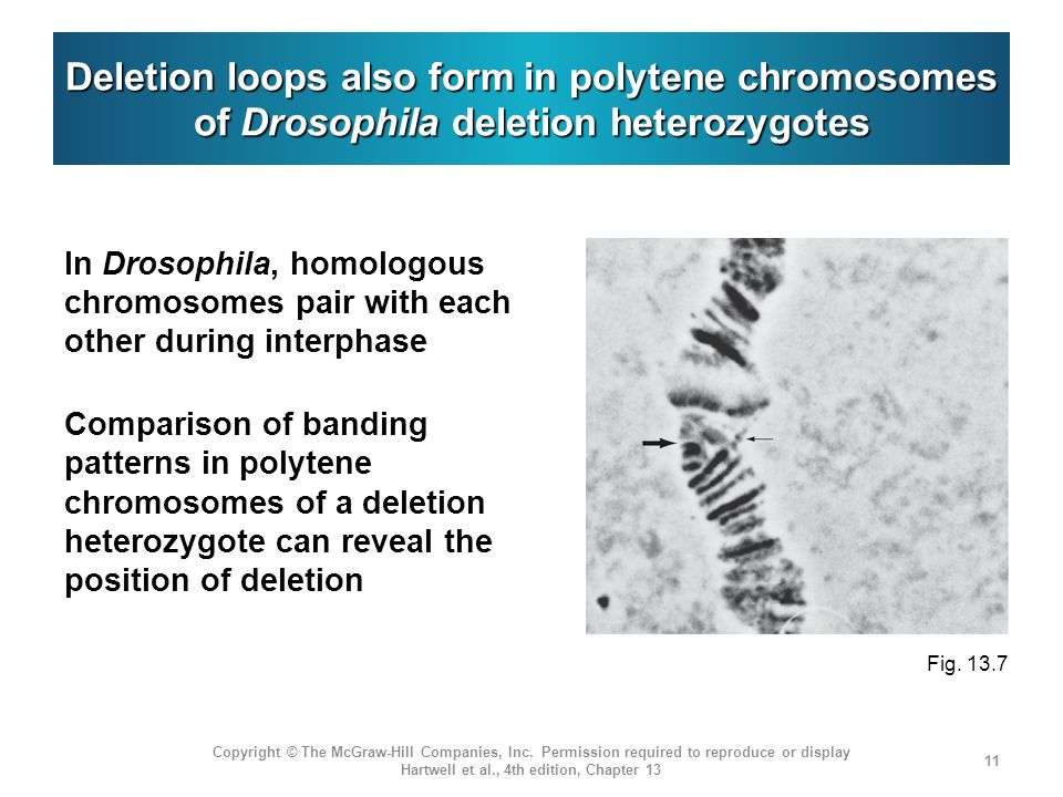 Deletion loops also form in polytene chromosomes of Drosophila deletion heterozygotes In Drosophila, homologous chromosomes pair with each other durin